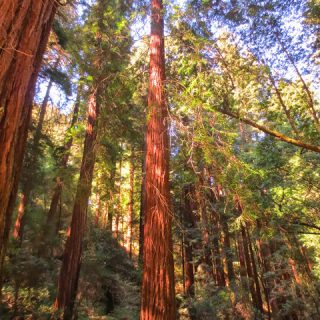 Thursday's Child: Muir Woods National Monument